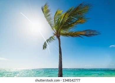 Coconut palm tree under a shining sun in Raisins Clairs beach in Guadeloupe, Caribbean sea