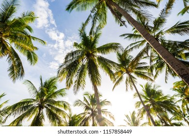 Coconut palm tree uprisen view in island nature landscape