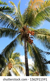 Coconut palm trees against blue sky with few clouds in Mauritius