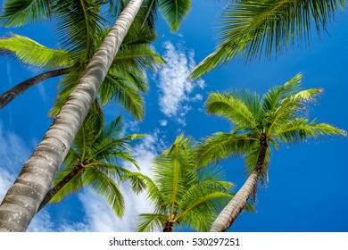 Coconut Palm trees against a blue tropical sky