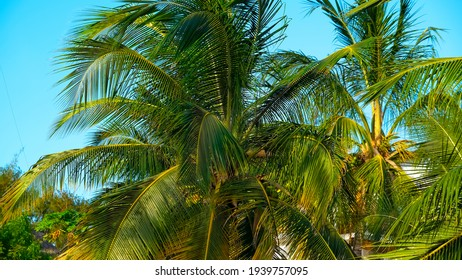 Coconut palm trees Beautiful natural tropical background. Toned photo. Copy space.