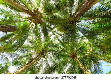Coconut palm trees  bottom view
