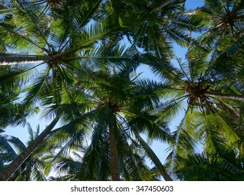 Coconut palm trees with coconuts perspective view from floor high up
