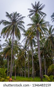 Coconut palm trees growing, Thailand