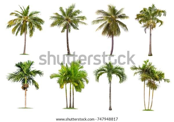 Кокосовые и пальмы Изолированное дерево на белом фоне, Коллекция деревьев. Большие деревья растут летом, что делает ствол большой.