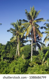 Coconut palm trees on Bali