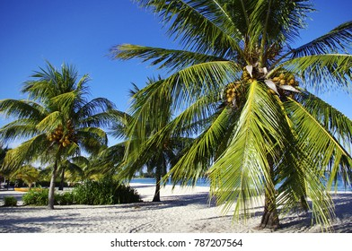 Coconut palm trees on on white sand beach in Belize, Placencia