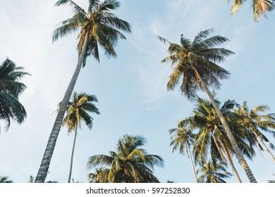 Coconut palm trees perspective view,background from palm-,Coconut palm tree on blue sky background,Hawaiian Coconut Palm Trees in Early Morning Waikiki Sunshine,Palm Tree