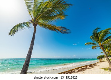 Coconut palm trees in Raisins Clairs in Guadeloupe, French west indies. Lesser Antilles, Caribbean sea