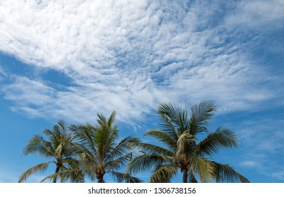 Coconut palm trees and sunny skies are in the tropical. Copy space for your text.