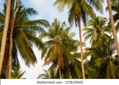 Coconut palm trees, tropical background