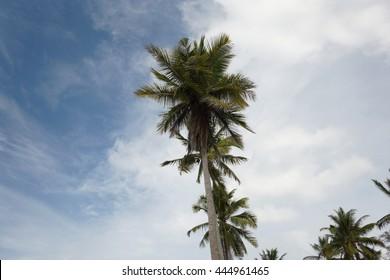 Coconut palm at tropical beach. Beautiful nature landscape of Penarik Beach,Setiu located in Terengganu, Malaysia.