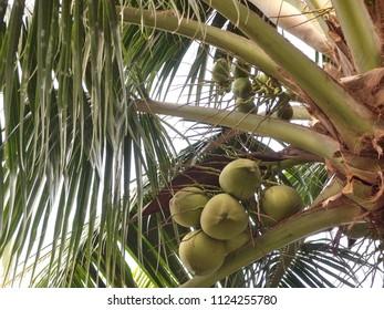 Coconut palm in the tropical garden, Nha Trang, Vietnam