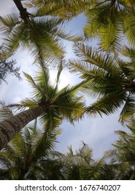 coconut palms against the blue sky bottom view