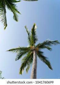 Coconut palms as the background
