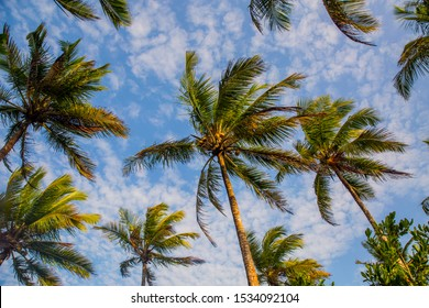 coconut palms on the beaches of bahia, capital, Salvador.