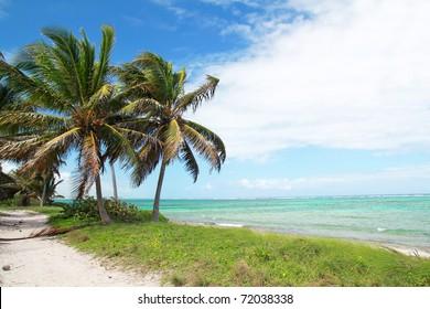 Coconut palms on caribbean sea coastline