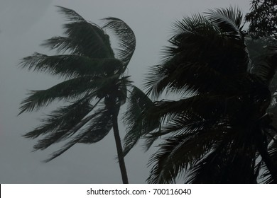 Coconut palms tree during heavy wind or hurricane. Rainy day