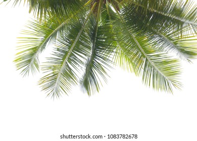 coconut or plam leaf isolated on white background with clipping path.