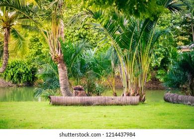 Coconut plam Tree in the garden.