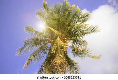 Coconut plam tree With the sky Sunlight