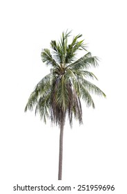 coconut plant on white background
