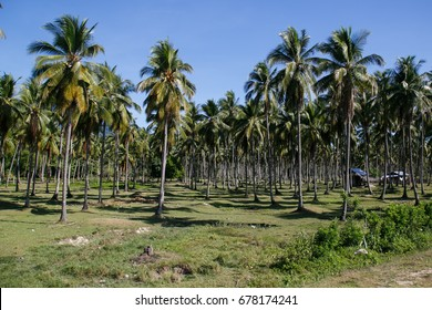 Coconut plantation in Coron, Busuanga island, Palawan province, Philippines