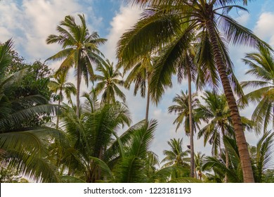 Coconut plantation ditch and dike orchard in Thailand. Grow orchard in rows earth dike in a wet ditch areas. Sunset golden hour in a tropical garden.