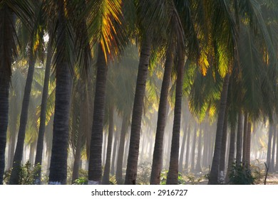 A coconut plantation on a foggy day in Mexico.