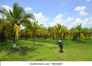 Coconut plantation and worker in Thailand