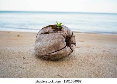 ฺOld coconut with Sapling is growing on coconut at white sand beach Thailand, Amazing Thailand