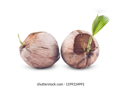 coconut seedlings ready for planting on white background planting agriculture isolated