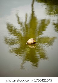 A coconut seen moving in the water in the backdrop of the relection of a  coconut tree