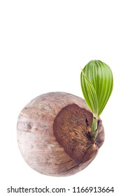 coconut shoot seedlings are growing sprout on white background planting agriculture isolated