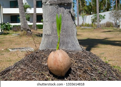 Coconut sprout growing under coconut tree.  Coconut sprout growing on coconut root.