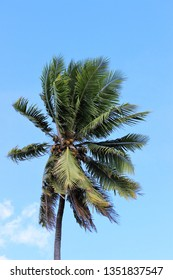 A Coconut tree blowing by the wind on a beautiful bright sunny day near the ocean