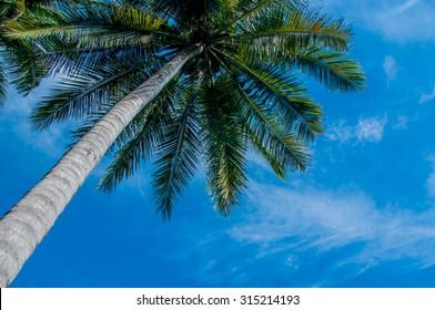A Coconut tree and blue sky.