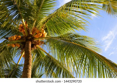 Coconut tree with blue sky as background.