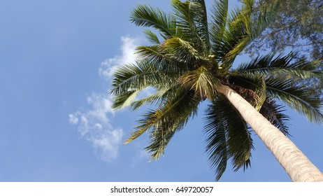 Coconut tree with blue sky , for Background