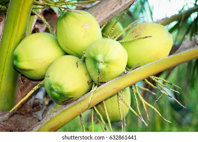 Coconut tree with bunch of coconut