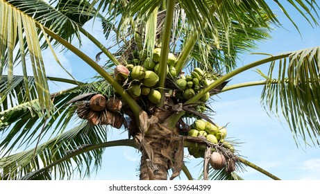 Coconut tree and coconuts on blue sky, young coconuts on tree