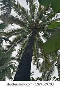 Coconut Tree from down tree