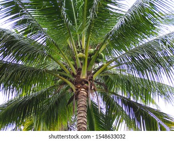 The coconut tree in the garden with sky background