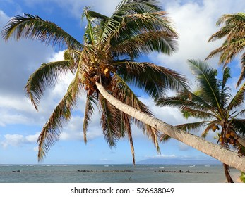 Coconut Tree hangs over Fish Pond with Gentle Waves break off shore and on Lanai visible in the distance in the state of Hawaii.