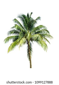coconut tree isolate on white background.
