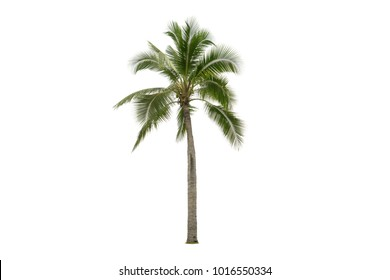 Coconut tree isolated on white background.Good for food plant and ornamental.