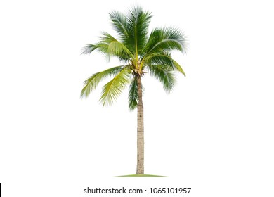 Coconut tree isolated on white background.Suitable for decor on website,artwork,wallpaper or print screen