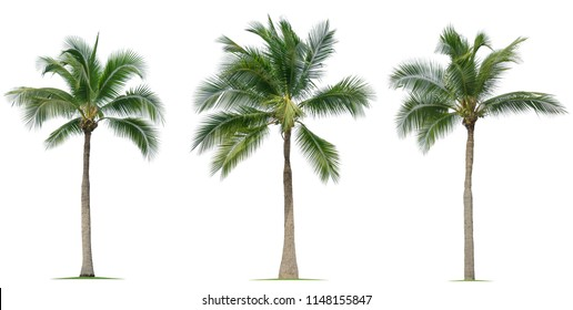Coconut tree isolated on white background.