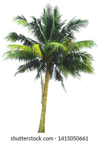 Coconut tree isolated on white background, tropical fruit growing at south of Thailand . With Clipping Path.