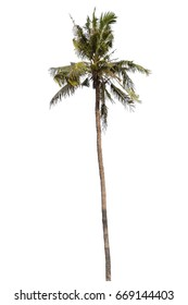Coconut tree isolated on white background for Landscape.